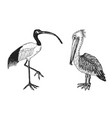 pelican and african sacred ibis engraved hand vector image vector image
