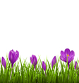 Green grass lawn with violet crocuses isolated vector image vector image