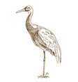 engraving drawing of white naped crane vector image