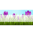 green grass lawn and violet crocuses vector image