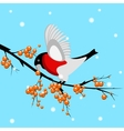A bullfinch eating a rowan berry vector image