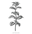 antique engraving mint branch hand draw black vector image