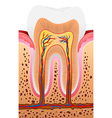 Cartoon of Human Tooth Anatomy vector image vector image