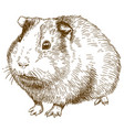engraving drawing of guinea pig vector image vector image