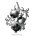 pomegranate fruit branch botanical vintage vector image vector image