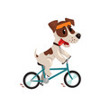 cute jack russell terrier athlete riding a bike vector image vector image