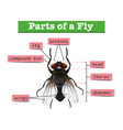 Diagram showing parts of fly vector image vector image