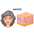 Diagram showing woman with aged skin vector image vector image