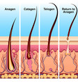 four stages of the hair growth cycle vector image vector image