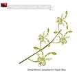 Dendrobium Lasianthera Papua New Guinea Flower vector image vector image