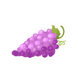bunch of ripe purple grapes with green leaf fresh vector image