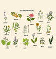 best medicinal herbs for hair care vector image vector image
