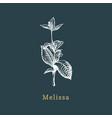 melissa sketch drawn spice herb in vector image vector image