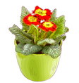 Red primrose in a flowerpot vector image vector image