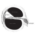 cochlea in transverse section vintage vector image vector image