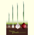 fresh red onion growth concept vector image