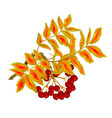 autumn branch of rowan leaves and berries summer vector image vector image