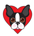 boston terrier face vector image vector image