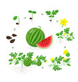 watermelon plant growth stages from seed seedling vector image vector image