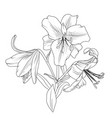 blooming lily flowers bouquet isolated black white vector image vector image