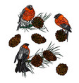 bullfinches on branches with pine cones vector image vector image