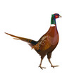male ring-necked pheasant vector image