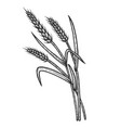 wheat ear spikelet sketch engraving vector image