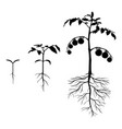 set of silhouettes tomato plants vector image vector image