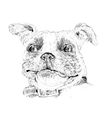 bulldog head vector image vector image
