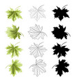 four colored leaves maple the green natural vector image