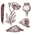 poppy seeds and flower culinary spice sketch vector image vector image