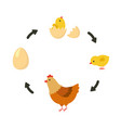 life cycle of the chicken vector image vector image