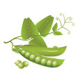 realistic pods of green peas tendril and leaves vector image