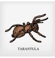 tarantula spider vector image vector image