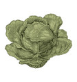 cabbage hand drawing vintage engraving vector image vector image
