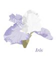 Delicate iris vector image