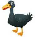 duck with black feather vector image vector image