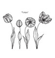 tulip flower drawing vector image vector image