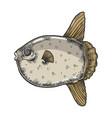 ocean sunfish sketch engraving vector image vector image