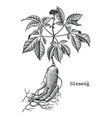 ginseng hand drawing vintage engraving medical vector image