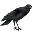 Corvus coronoides vector image vector image