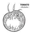tomato fresh food hand drawn vector image vector image