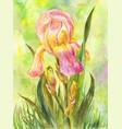 watercolor pink iris in the garden vector image vector image