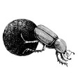 monochrome african dung beetle rolling ball vector image