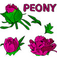 set of fuchsia of peony flower buds and flower vector image