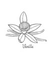 vanilla flower plant vector image