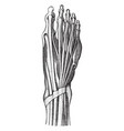 tendons of the foot vintage vector image