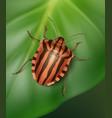 striped shield bug vector image vector image