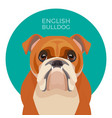 english bulldog medium-sized breed british vector image vector image