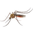 Mosquito realistic vector image